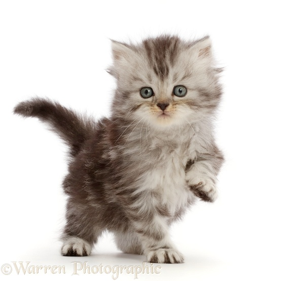 Silver tabby Persian-cross kitten, white background