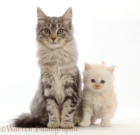 Silver tabby kitten, Freya, 4 months old, with unrelated cream Persian-cross kitten, white background