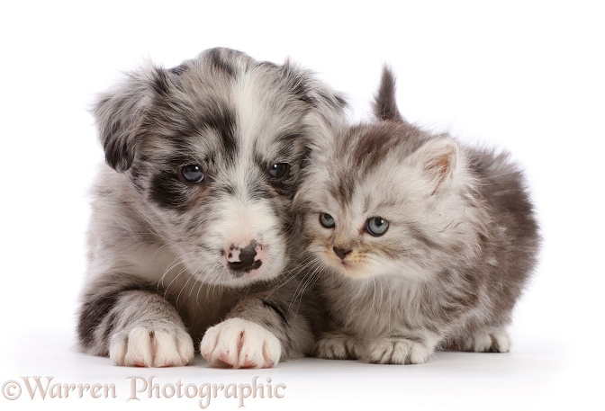 Blue merle Border Collie puppy and silver tabby kitten, white background