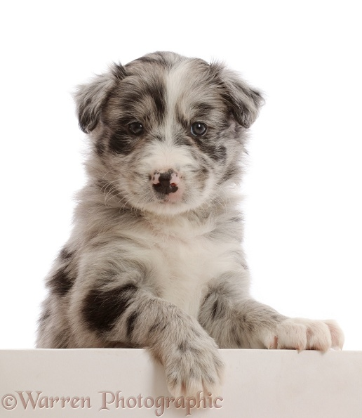 Merle Border Collie puppy, with paws over, white background