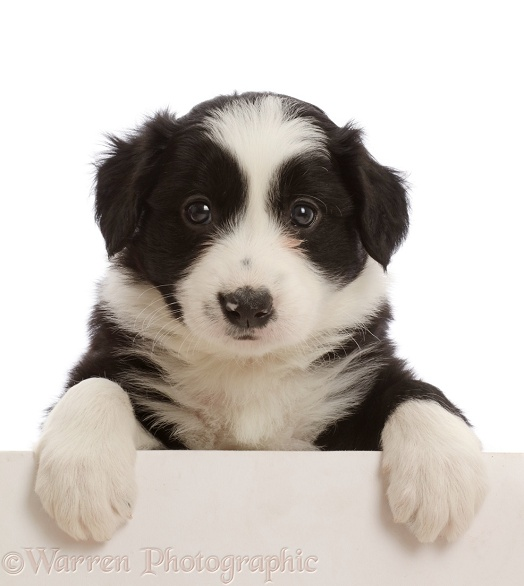 Black-and-white Border Collie puppy, with paws over, white background