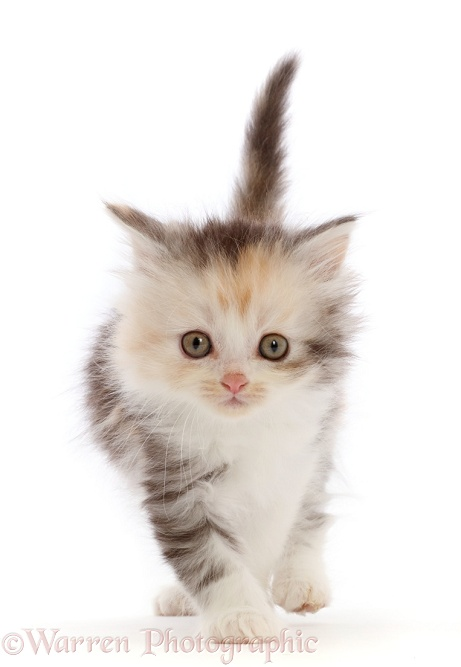 Tortoiseshell Persian-cross kitten, white background