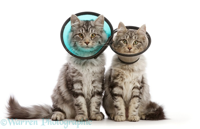 Silver tabby cats, Freya and Blaze, 5 months old, wearing Elizabethan wound healing cone collar, after neuter operations, white background