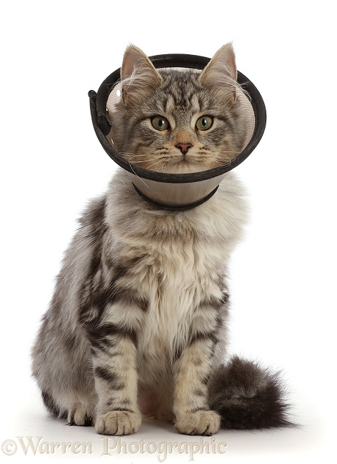 Silver tabby cat, Freya, 5 months old, wearing Elizabethan wound healing cone collar, after a spay operation, white background