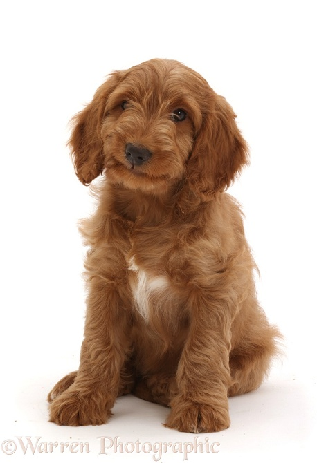 Australian Labradoodle puppy, sitting, white background