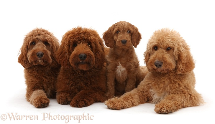 Three Australian Labradoodles adults and a puppy, white background