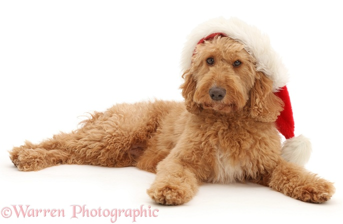 Australian Labradoodle wearing a Father Christmas hat, white background