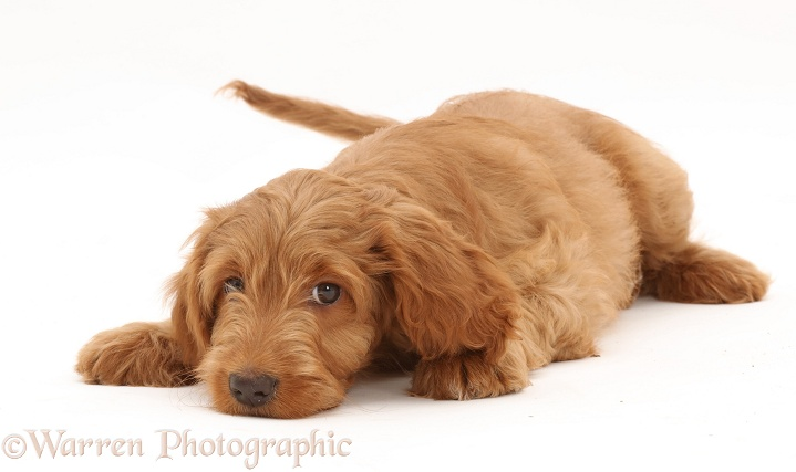 Golden Cocker Spaniel puppy, lying with chin on floor, white background