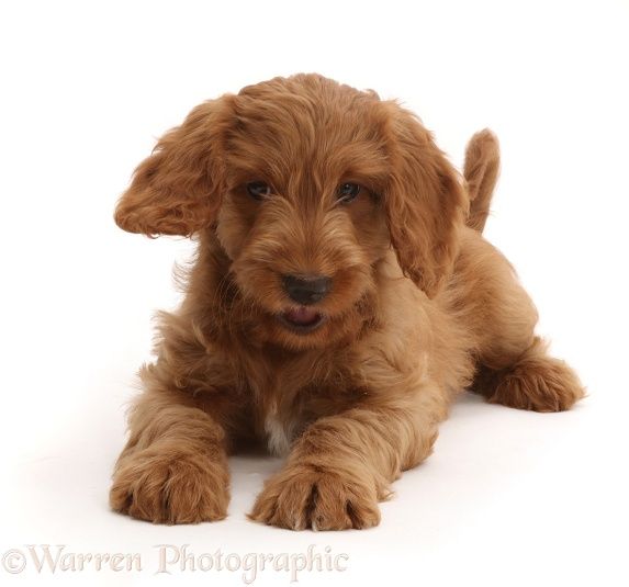 Playful Australian Labradoodle puppy, white background