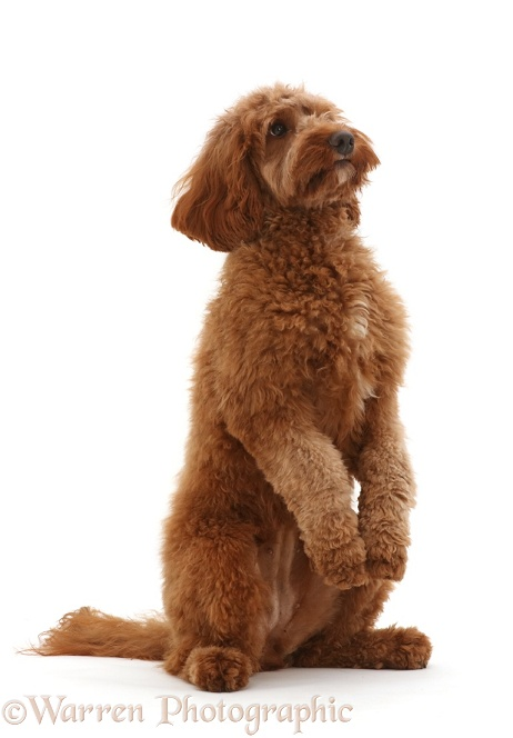 Australian Labradoodle, begging, white background