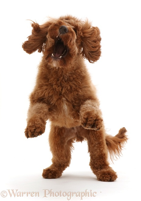 Australian Labradoodle, pouncing playfully, white background