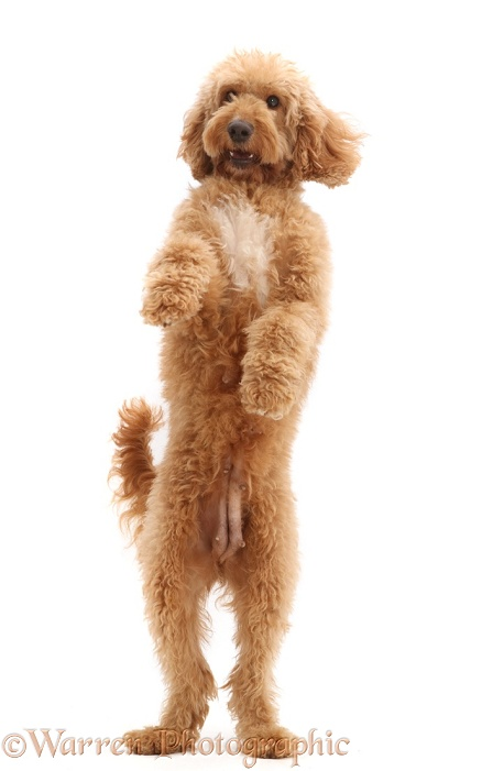Australian Labradoodle, jumping up, white background