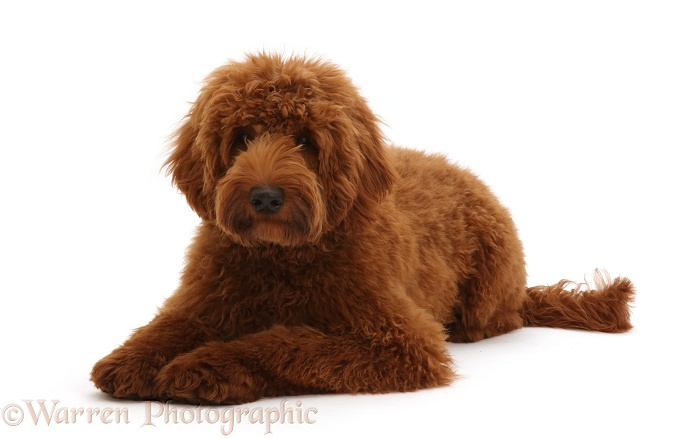 Australian Labradoodle, white background