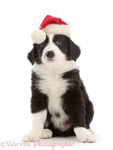 Black-and-white Border Collie puppy, wearing a Father Christmas hat, white background
