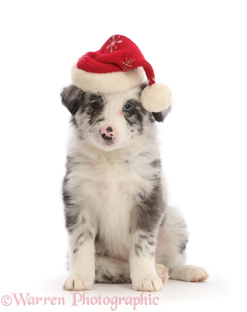 Merle Border Collie puppy, wearing a Father Christmas hat, white background