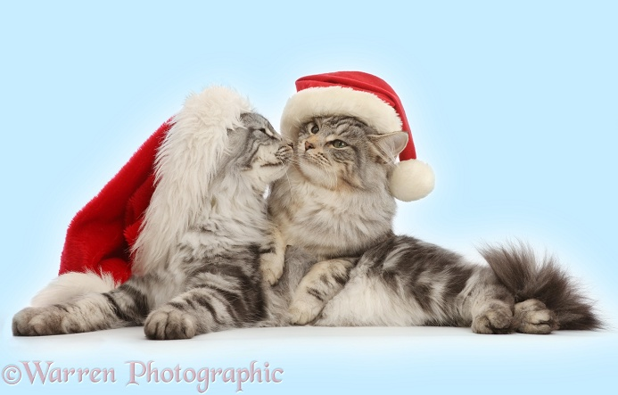 Silver tabby cats, Freya and Blaze, 5 months old, wearing a Father Christmas hats, white background
