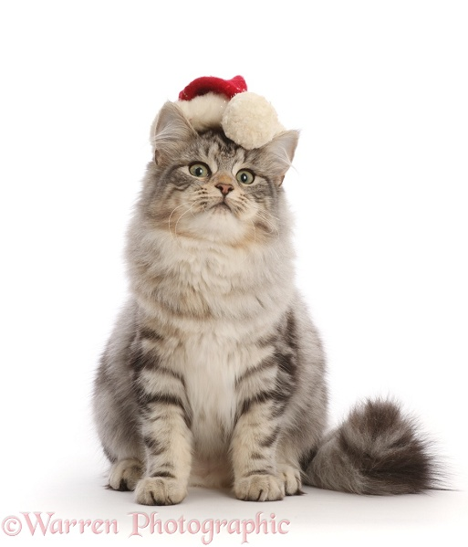 Silver tabby cat, Freya, 5 months old, wearing a Father Christmas hat, white background