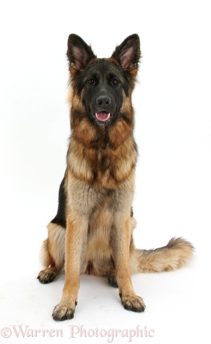 German Shepherd Dog bitch, Coco, sitting, white background