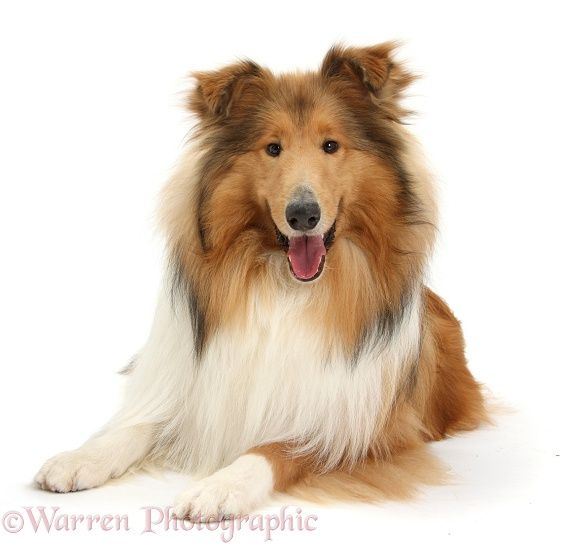 Sable Rough Collie dog, white background