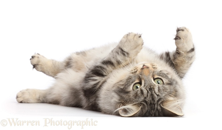 Silver tabby cat, Freya, 5 months old, rolling on her back, white background