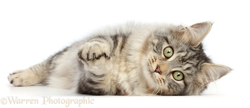 Silver tabby cat, Freya, 5 months old, lying on her side with clasped paws, white background