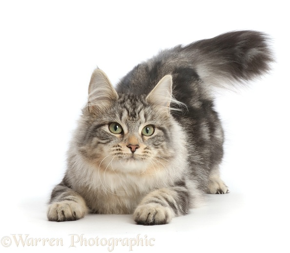 Silver tabby cat, Freya, 5 months old, in a play-bow position, white background