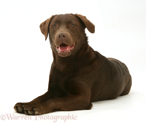 Chocolate Labrador Retriever, Mocha, lying with head up, white background