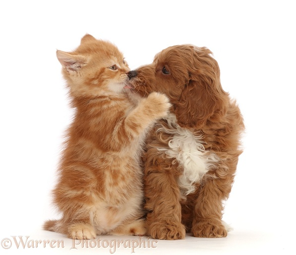 Ginger kitten kissing with Cavapoo puppy, white background