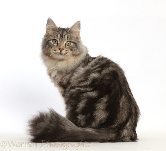 Silver tabby cat, Freya, 6 months old, sitting and looking over her shoulder, white background