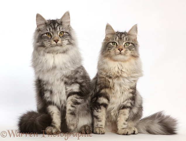 Silver tabby cats, Freya and Blaze, 6 months old, sitting together, white background