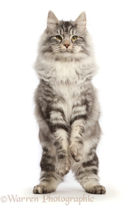 Silver tabby cat, Blaze, 6 months old, jumping up, white background