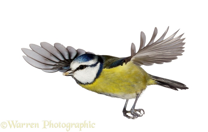 Blue Tit (Parus caeruleus) in flight, white background