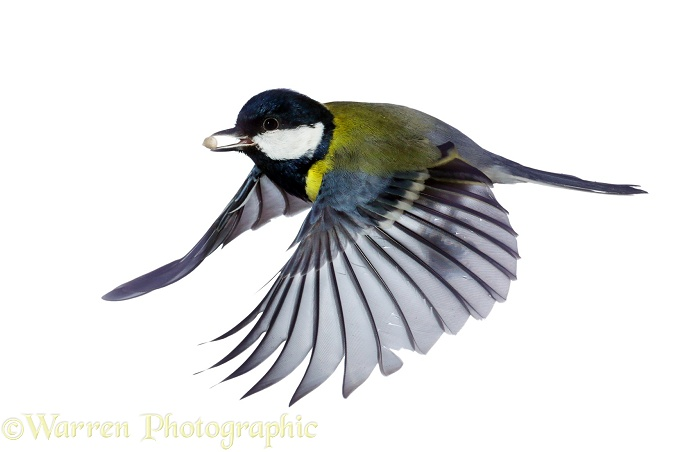 Great Tit (Parus major) in flight, white background