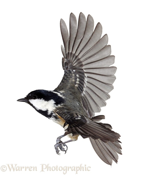 Coal tit in flight, white background