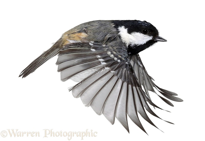 Coal Tit (Parus ater) in flight, white background