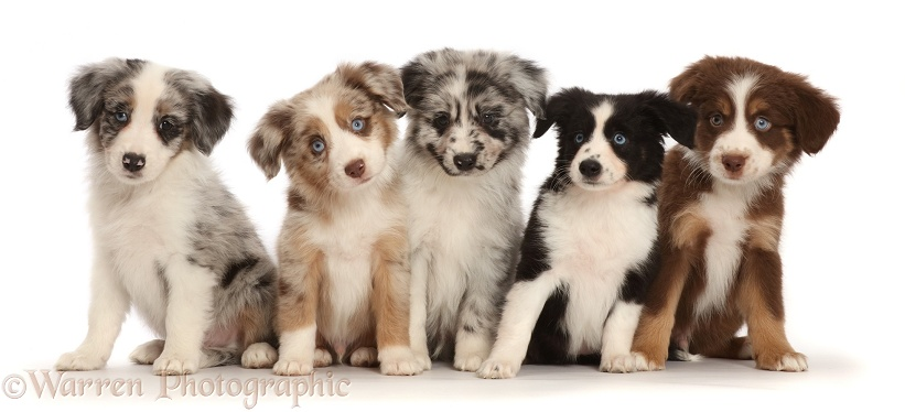 Five Miniature American Shepherd puppies, white background