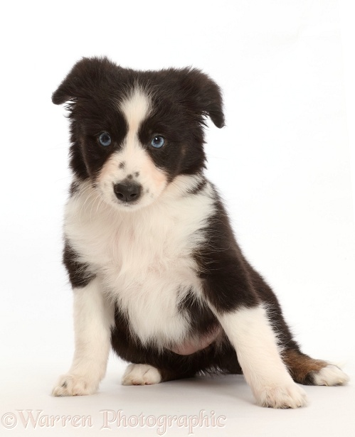 Black-and-white Miniature American Shepherd puppy, white background