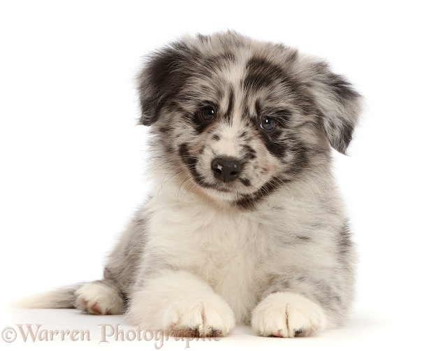 Merle Miniature American Shepherd puppy, white background