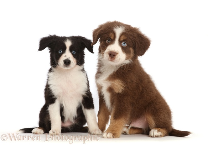 Two Miniature American Shepherd puppies, white background