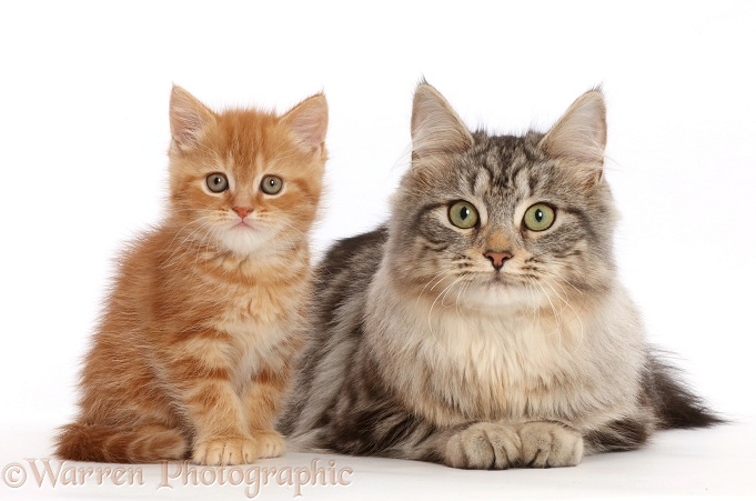 Ginger kitten with Silver tabby cat, Freya, 6 months old, white background