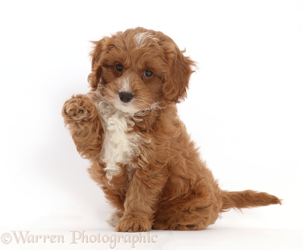 Cavapoo puppy sitting with raised paw, white background