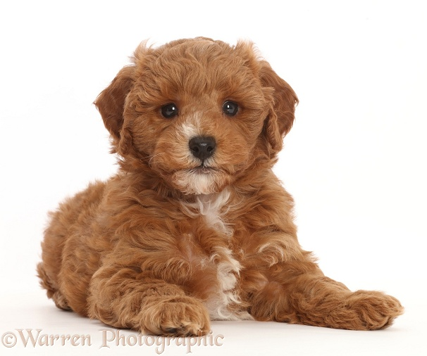 Cavapoo puppy lying with head up, white background
