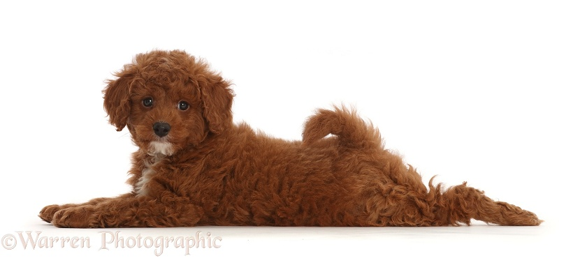 Cavapoo puppy lying stretched out, white background