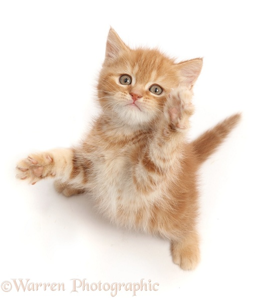 Sweet little ginger kitten reaching up a paw, white background