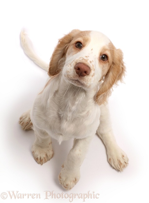 Orange-and-white Cocker Spaniel sitting looking up, white background