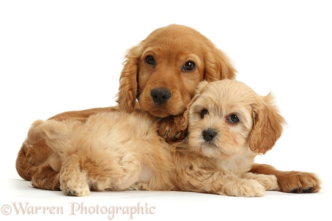 Golden Cocker Spaniel puppy, Maizy, with a cute Cavapoo puppy, white background
