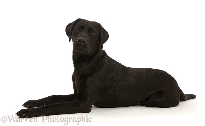 Black Labrador Retriever, white background