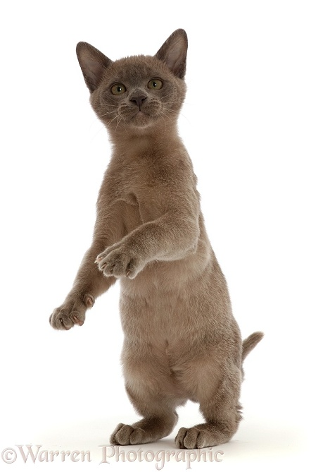 Burmese kitten, standing up, white background