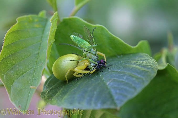 Yellow form of Crab Spider (Misumena vatia) with prey - a fly (Calliphora species) and Green sawfly (Rhogogaster viridis)