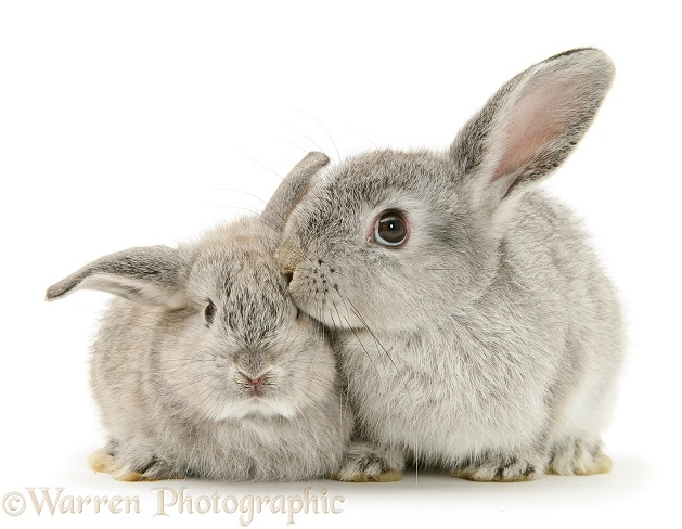 Mother and baby silver rabbits, white background